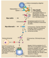 Complement pathway ku.png