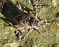Coniocleonus species - Flickr - gailhampshire.jpg
