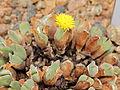 Conophytum bilobum-IMG 5459.jpg