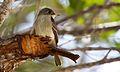 Contopus caribaeus Andros Bahamas.jpg