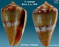 Conus cumingii 2.jpg