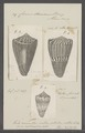 Conus daucus - - Print - Iconographia Zoologica - Special Collections University of Amsterdam - UBAINV0274 087 01 0002.tif