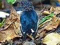 Copsychus saularis, Oriental magpie-robin 3.jpg