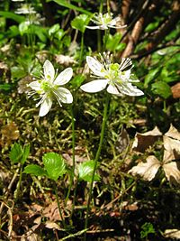 Coptis trifolia 5.JPG
