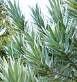 Copy of Leucadendron argenteum - Silvertree- foliage 4.JPG