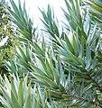 Copy of Leucadendron argenteum - Silvertree- foliage 4.JPG
