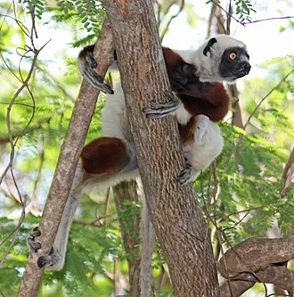 Coquerel's sifaka - Coquerel's sifaka in the wild at Anjajavy Forest