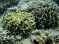 Coraux indetermines.jpg