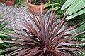 Cordyline australis Red Sensation 1zz.jpg