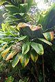 Cordyline fruticosa kz4.JPG