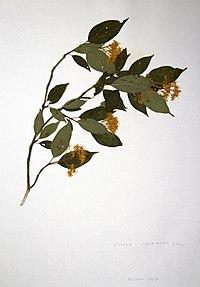 Cornus racemosa BW-1979-0618-0286.jpg