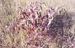 Cornus sericea - Image: Cornus sericea fall