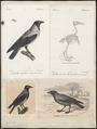 Corvus cornix - 1700-1880 - Print - Iconographia Zoologica - Special Collections University of Amsterdam - UBA01 IZ15700231.tif