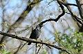 Corvus monedula 12.jpg