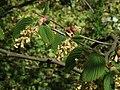 Corylopsis spicata a1.jpg