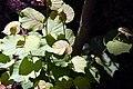 Corylus avellana Rosita 3zz.jpg