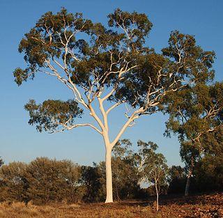 <i>Corymbia aparrerinja</i> species of plant