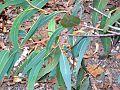 Corymbia exemia leaves Galston Gorge.jpg