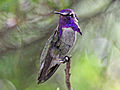 Costas Hummingbird male RWD.jpg