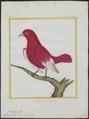 Cotinga pompadora - 1700-1880 - Print - Iconographia Zoologica - Special Collections University of Amsterdam - UBA01 IZ16600095.tif