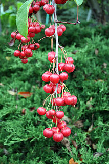 <i>Malus sikkimensis</i> species of plant