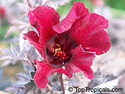 Hibiscus wikivisually hibiscus acetosella image cranberry hibiscus flower ccuart Images