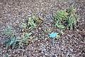 Crassula perfoliata var. falcata - San Luis Obispo Botanical Garden - DSC05970.JPG