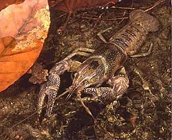 Image Result For Can Crayfish Eat