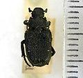 Cremastocheilus castaneae (Knoch, 1801) - 5392542415.jpg