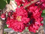 Crepe Myrtle, Crape Myrtle 'Dynamite' (Lagerstroemia indica).jpg