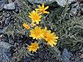 Crepis occidentalis.jpeg