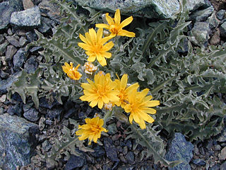 <i>Crepis occidentalis</i> Species of flowering plant