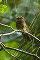 Crescent-chested Puffbird - REGUA - Brazil S4E2681 (12811182263).jpg