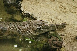 Crocodile - 140 px