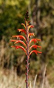 Crocosmia × crocosmiiflora - Levada da Serra do Faial - Madeira 01.jpg