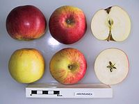Cross section of Abbondanza, National Fruit Collection (acc. 1958-139).jpg