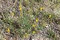 Crotolaria sp.-2133 - Flickr - Ragnhild & Neil Crawford.jpg
