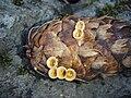 Crucibulum laeve PG.jpg