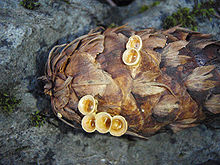 A pinecone with six small, light yellow, cup-shaped structures on it
