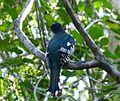 Cuban Trogon, Priotelus temnurus - Flickr - gailhampshire (2).jpg