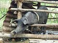 Cuban pig in sty.jpg