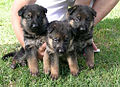 Cuccioli di pastore tedesco.jpg