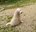 Cucciolo di pastore maremmano abruzzese.jpg