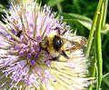Cuckoo bumblebee (Bombus campestris?), Willington, Bedfordshire (7692639164).jpg