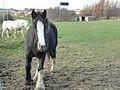 Curious horse - geograph.org.uk - 1592248.jpg