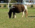Cute pony (4023035467).jpg
