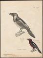 Cymbirhynchus macrorhynchus - 1700-1880 - Print - Iconographia Zoologica - Special Collections University of Amsterdam - UBA01 IZ16700295.tif
