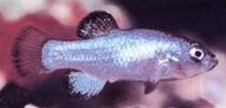 Cyprinodon diabolis