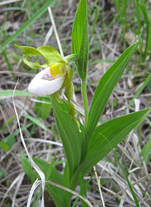 Cypripedium candidum Bluegrass.jpg