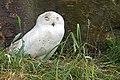 DSC00621 - Snowy Owl (7693363670).jpg